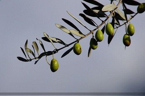 les feuilles d'olivier pour lutter contre l'hypertension