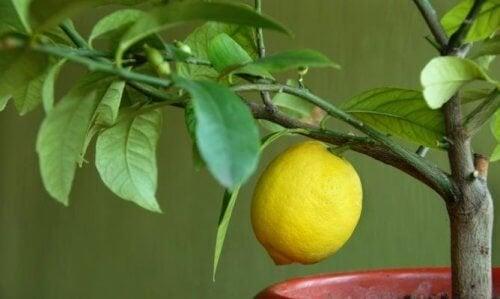 4 arbres fruitiers que vous pouvez faire pousser chez vous