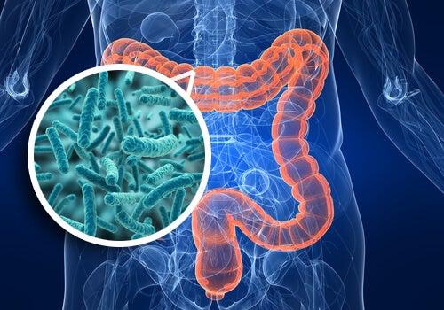 comment renforcer la flore intestinale