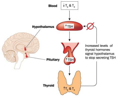 axe hypophyse thyroïde
