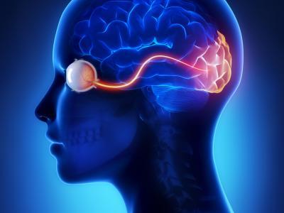 découverte, le cotex visuel et le cerveau continuent de mûrir après 30 ans