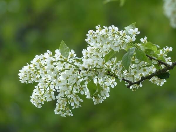 l'angélique fait partie des herbes médicinales efficaces contre la dépression