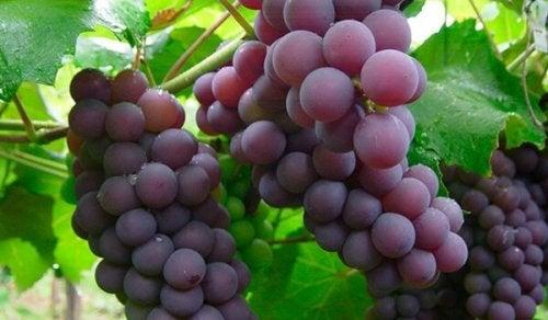 Le raisin, un médicament naturel pour les reins