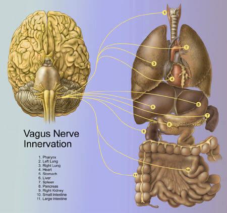 Le nerf vague