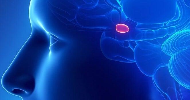 La glande pinéale dans le cerveau