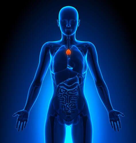 le thymus et le système lymphatique