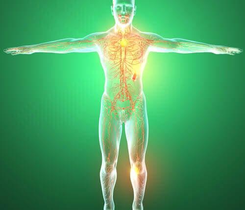 les organes du système lymphatique