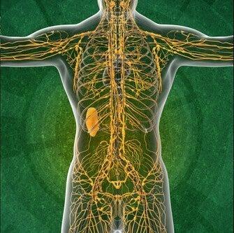 Système lymphatique : 4 choses à savoir