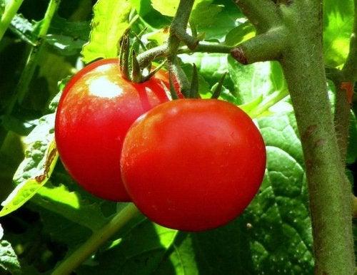 la tomate comme remède contre la constipation aiguë