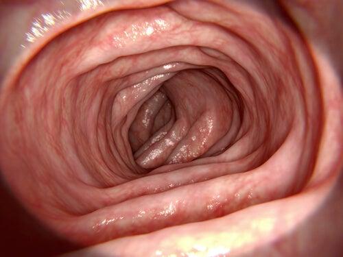 Rôle du gros intestin.