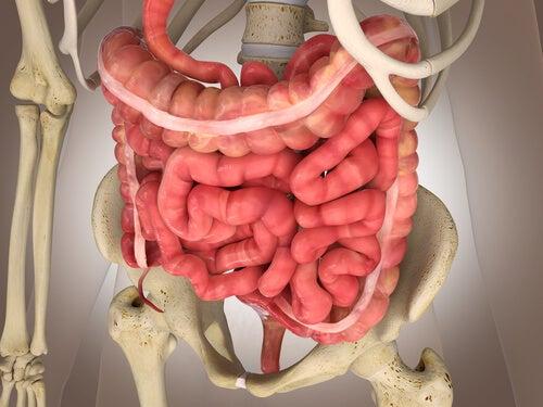 Fonctionnement du gros intestin.