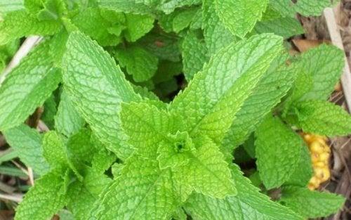 Les feuilles de menthe