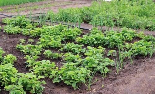 Jardin potager dans le jardin.