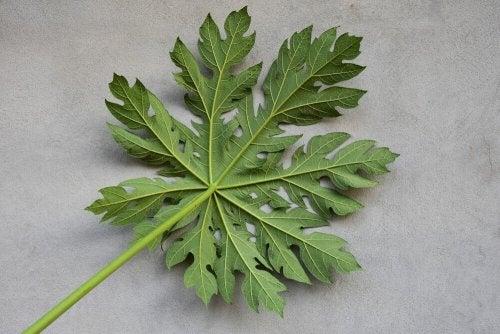 les feuilles de la papaye augmentent le taux de plaquettes sanguines