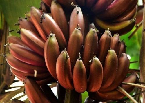 3 délicieuses recettes à la banane rouge