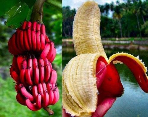 Recette de smoothie à la banane rouge.