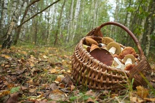 Panier de champignons en forêt.