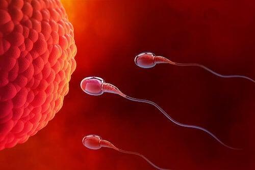 L'ovulation avec un seul ovaire