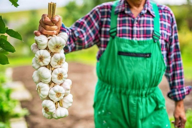 L'ail : un puissant stimulant du système immunitaire