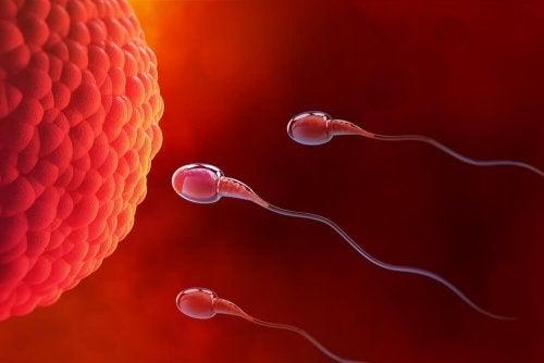 Qu'est-ce que l'ovulation