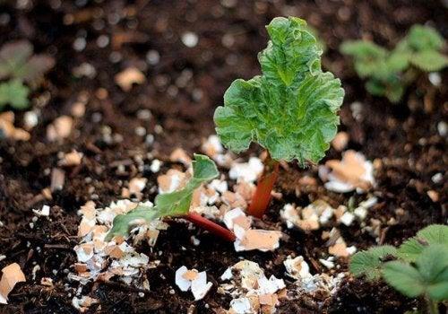 Les coquilles d'oeuf servent à faire de l'engrais organique