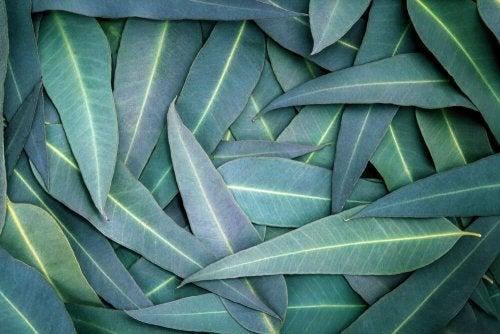 L'eucalyptus : 5 remèdes contre les problèmes respiratoires