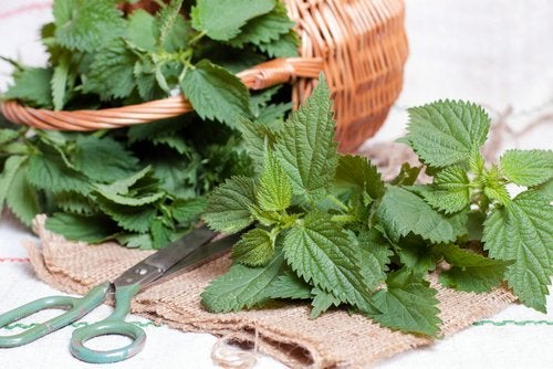 l'infusion de feuilles d'ortie pour lutter contre les calculs rénaux