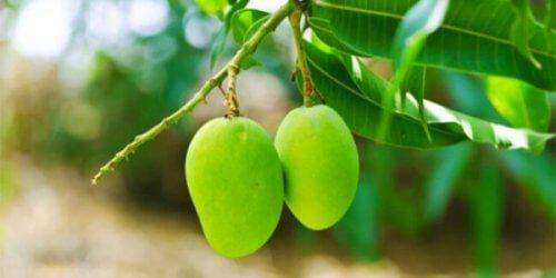 Infusion de feuilles de mangue pour réduire le taux de glucose dans le sang