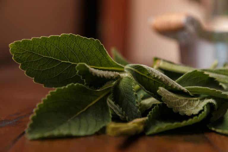 Le boldo : un remède pour préserver son foie