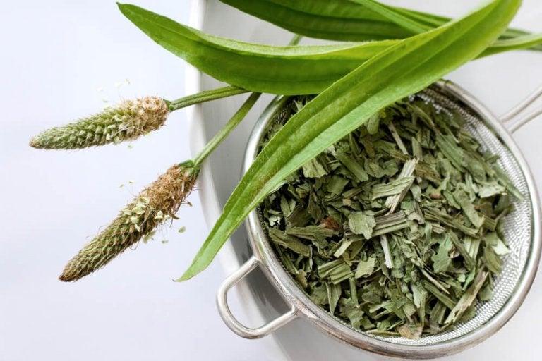 Infusion de graines de plantain : un remède efficace contre la constipation