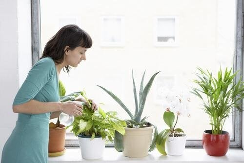 la cannelle pour les plantes d'intérieur