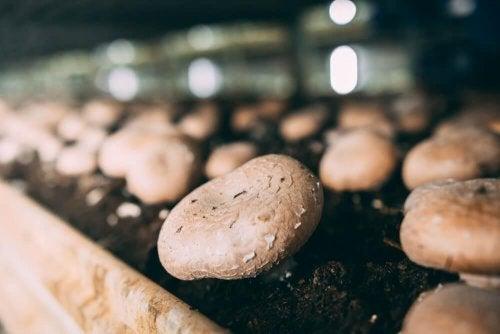 Apprendre à cultiver des champignons de Paris chez soi