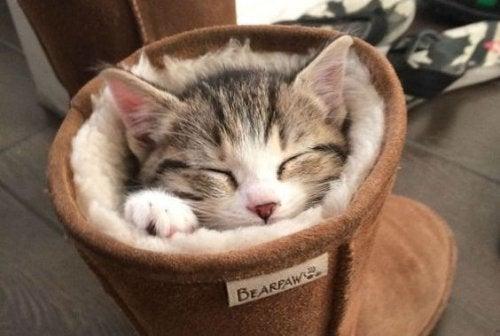 Un chat dans une chaussure