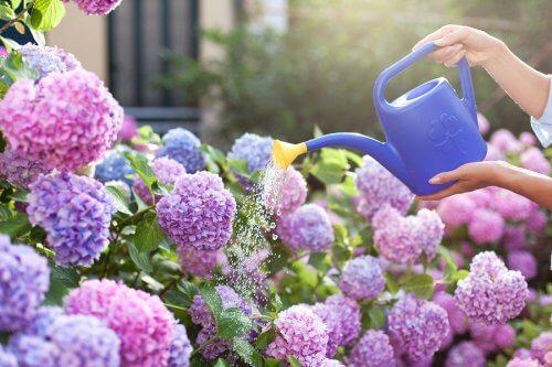 plantes parfumées : le lilas