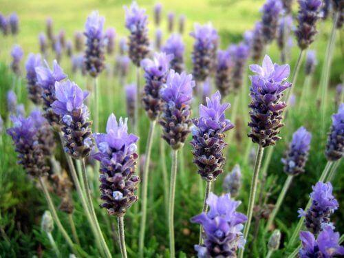 plantes parfumées : la lavande