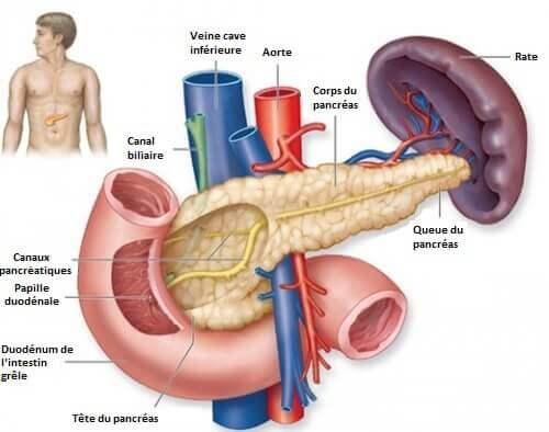 Le pancréas et l'hypoglycémie