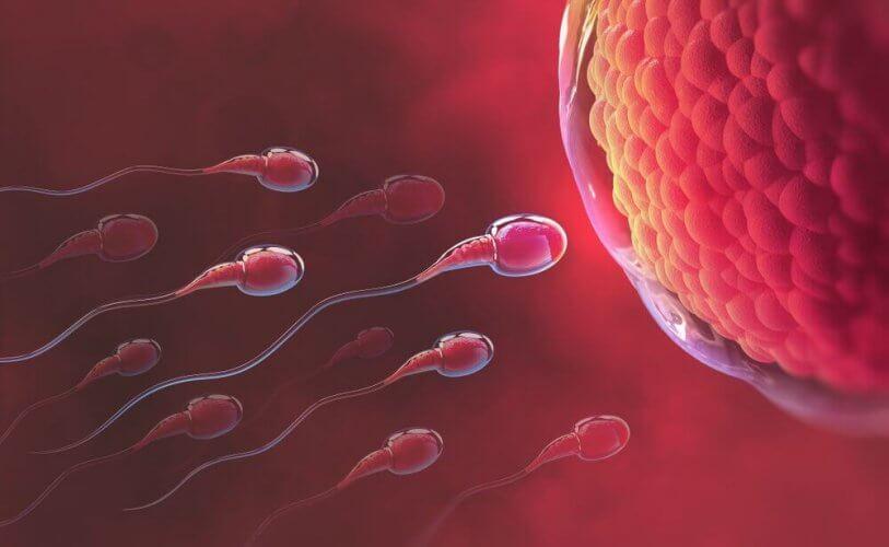 Des spermatozoïdes qui se dirigent vers l'ovule