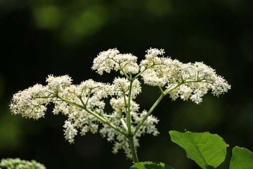La fleur de sureau a des vertus contre la névralgie