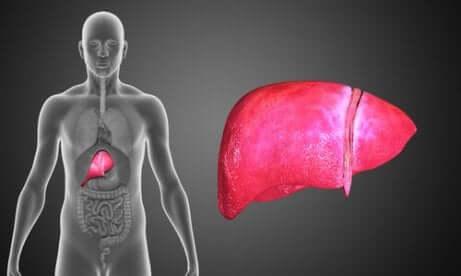 L'emplacement du foie dans le corps humain