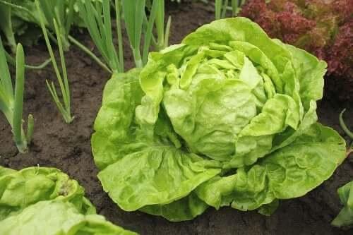 Quelle variété de salade choisir et comment la cultiver ?