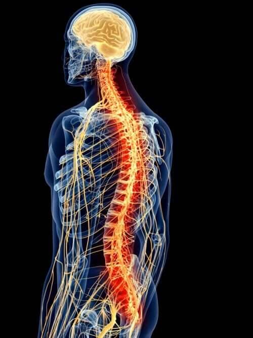 Un schéma de la colonne vertébrale.