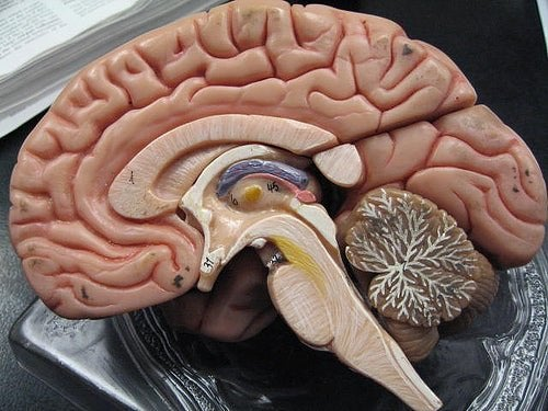 La maquette d'un cerveau