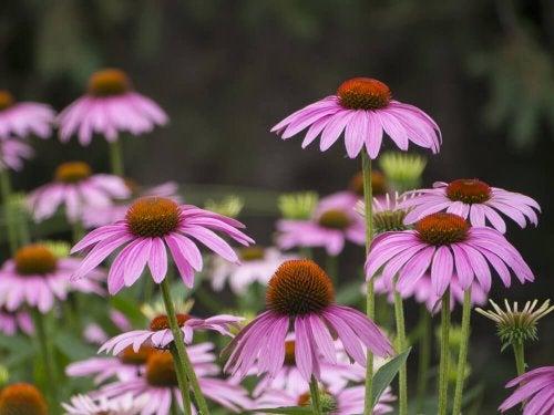Parmi les plantes fleuries d'été figurent les échinacées