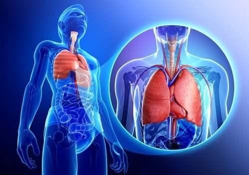Un schéma des poumons