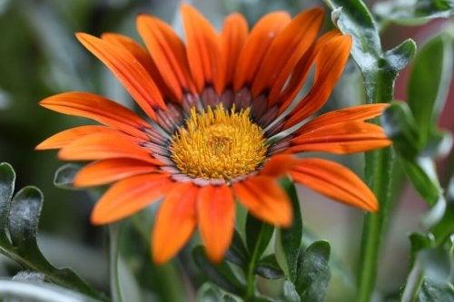 Le gazania fait partie des plantes fleuries d'été