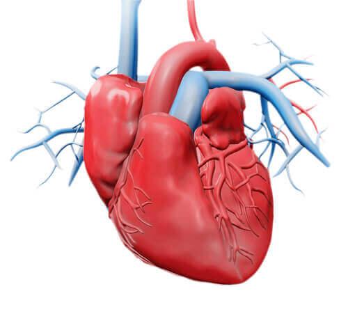 Un schéma du coeur humain