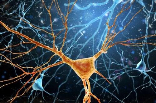 La neurogénèse, ou formation de nouveaux neurones