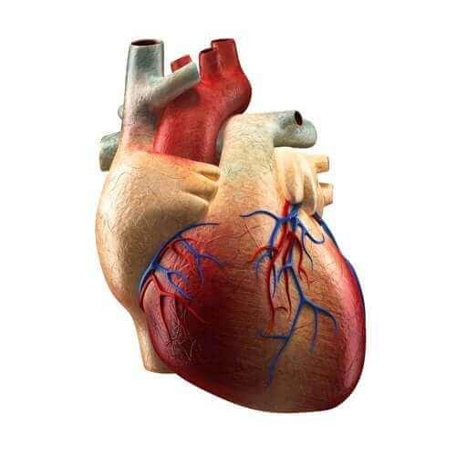 Les parties du cœur et leurs fonctions