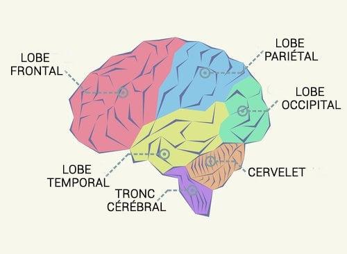 Un schéma des lobes cérébraux
