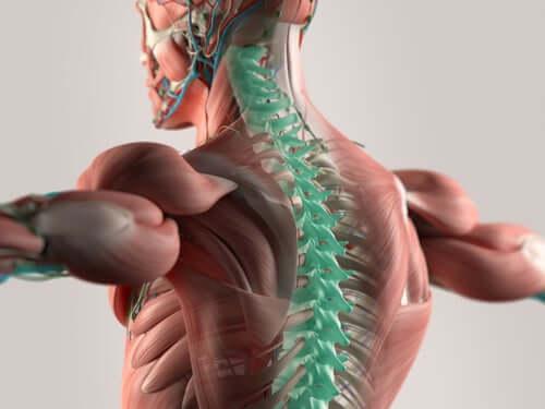 La moelle épinière et les nerfs spinaux cervicaux